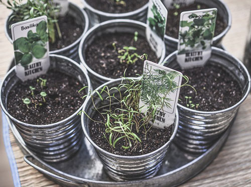 Home-grown herbs in pots. Move out with no money by growing your own food.